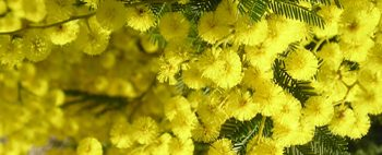 mimosa_festadonna