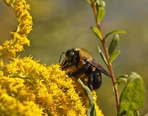 fiori di ambrosia con ape